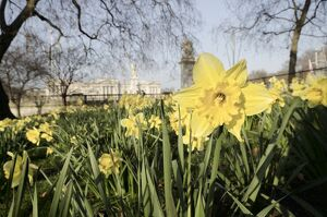 Buckingham Palace with Daffodils in Spring
