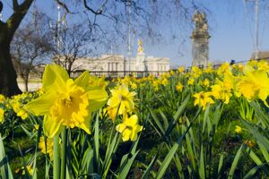 UK, England, London, St. James Park, Buckingham Palace with Daffodils in Spring